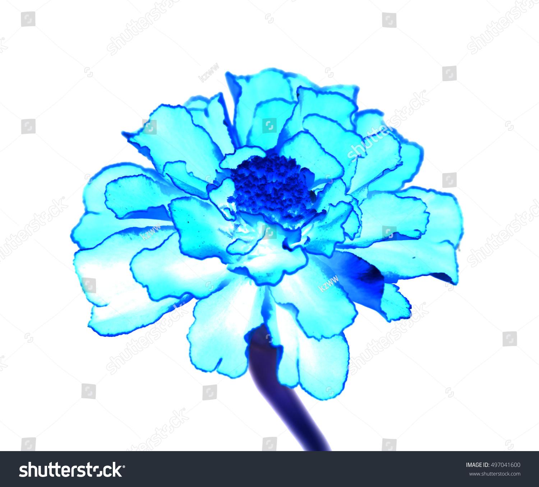 Surreal Exotic Blue Marigold Flower Macro Stock Photo Royalty Free