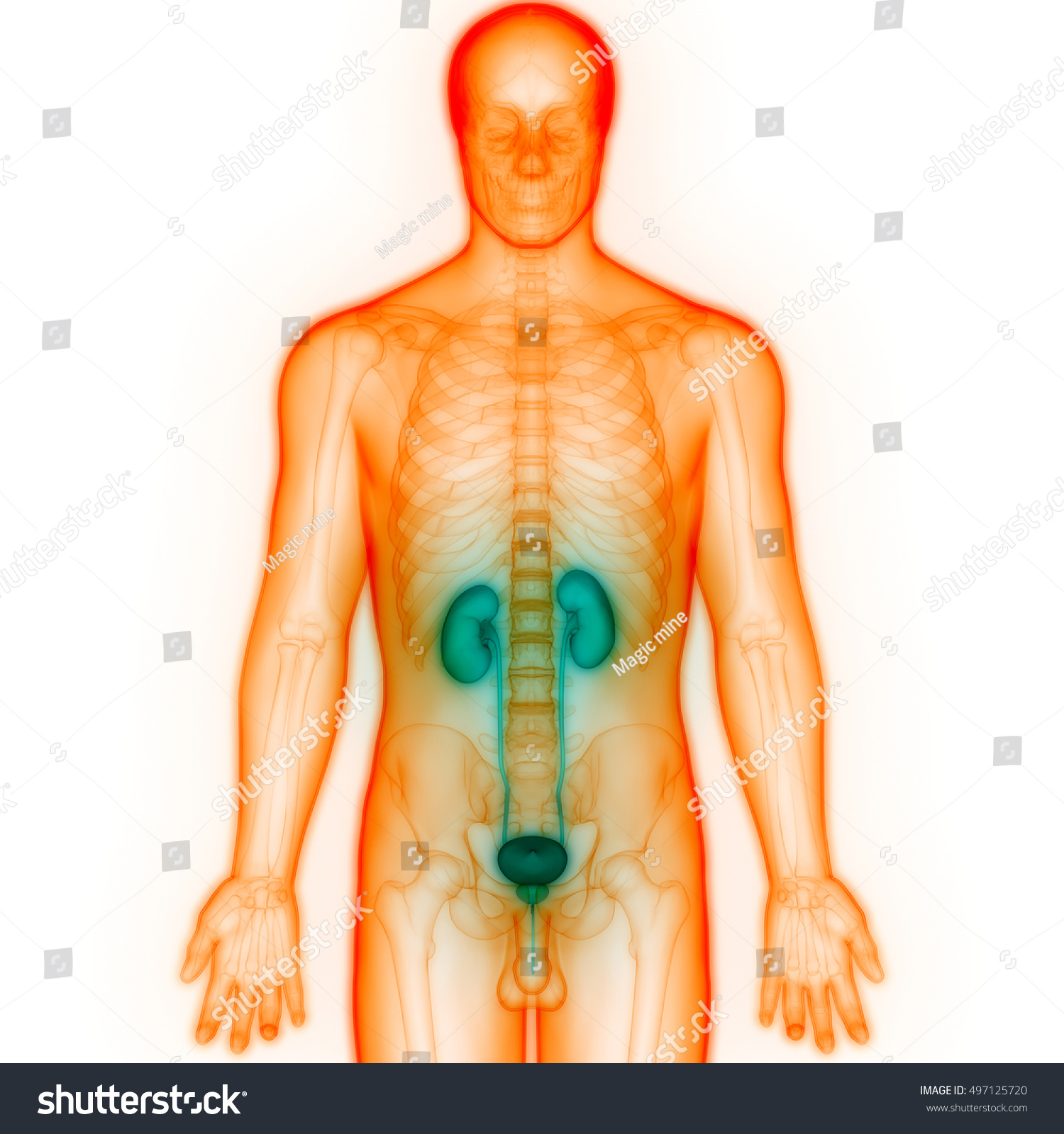Human Body Organs Anatomy Kidneys 3 D Stock Illustration 497125720