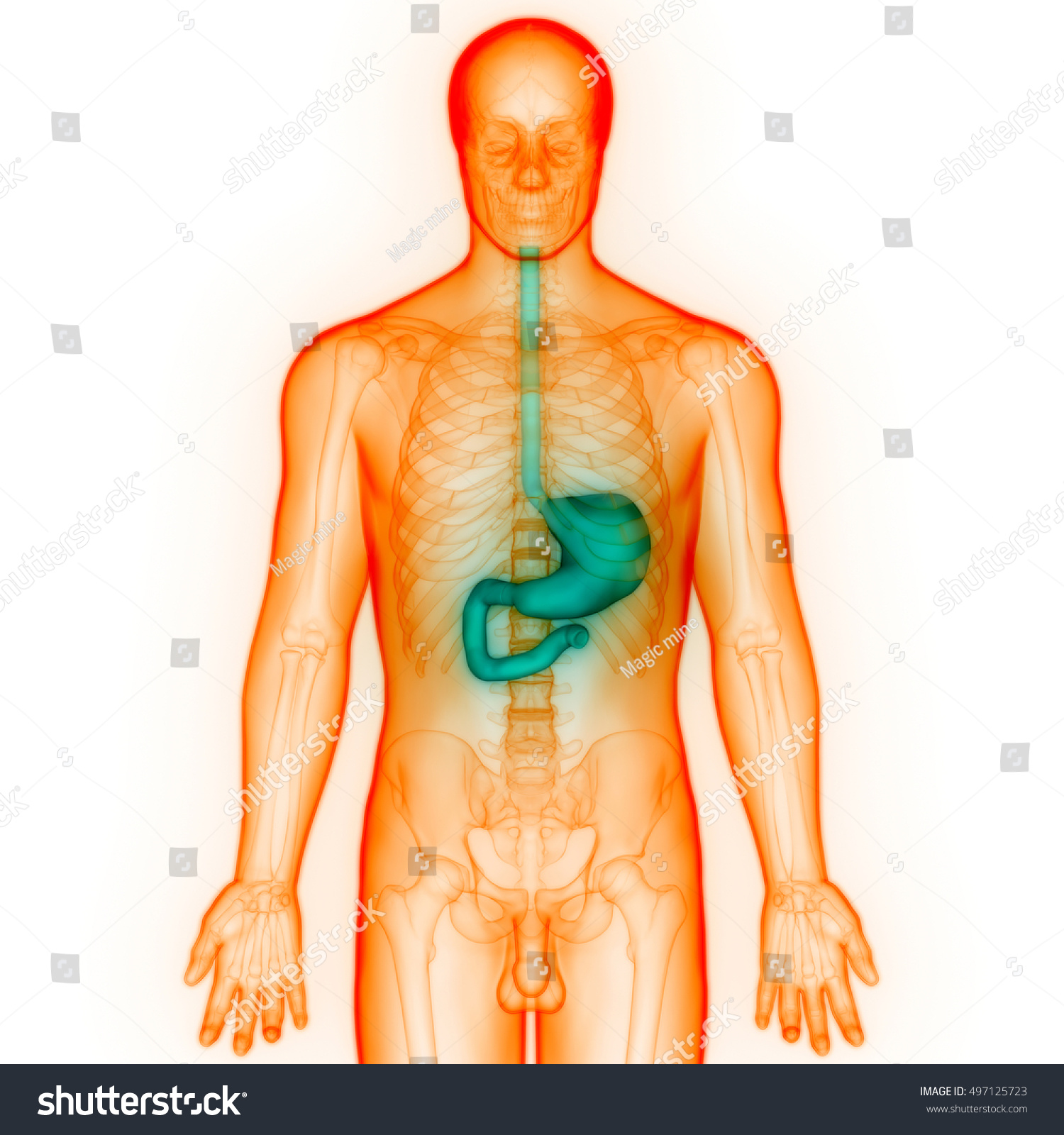 Human Digestive System Anatomy Stomach 3 D Stock Illustration
