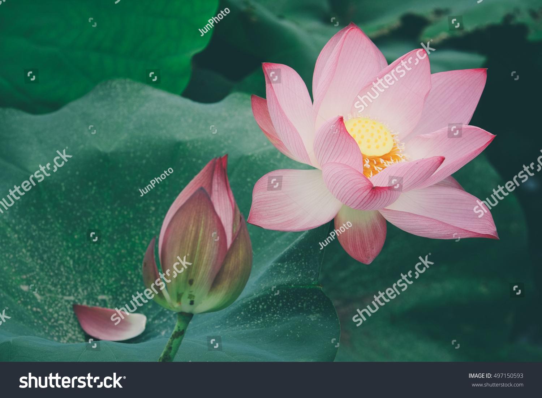 Beautiful lotus flower vintage colour stock photo 497150593 beautiful lotus flower vintage colour izmirmasajfo Images