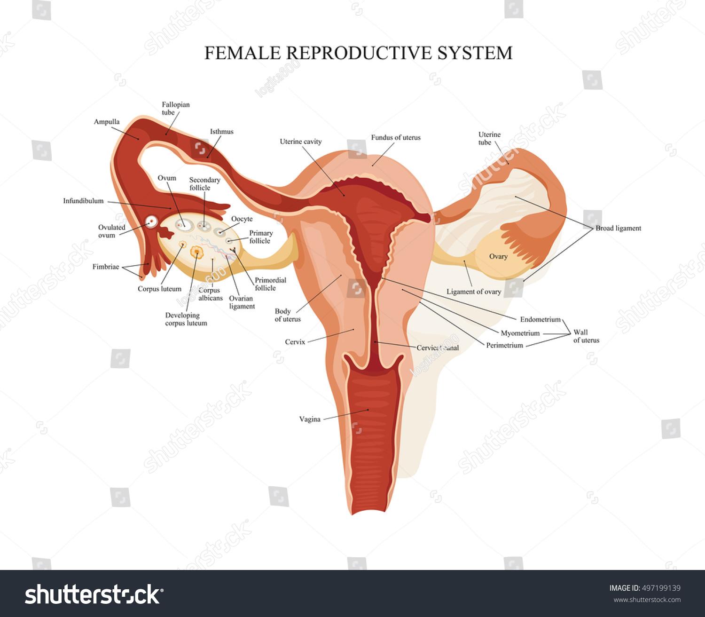 Female Reproductive System Uterus Ovaries Scheme Stock Illustration