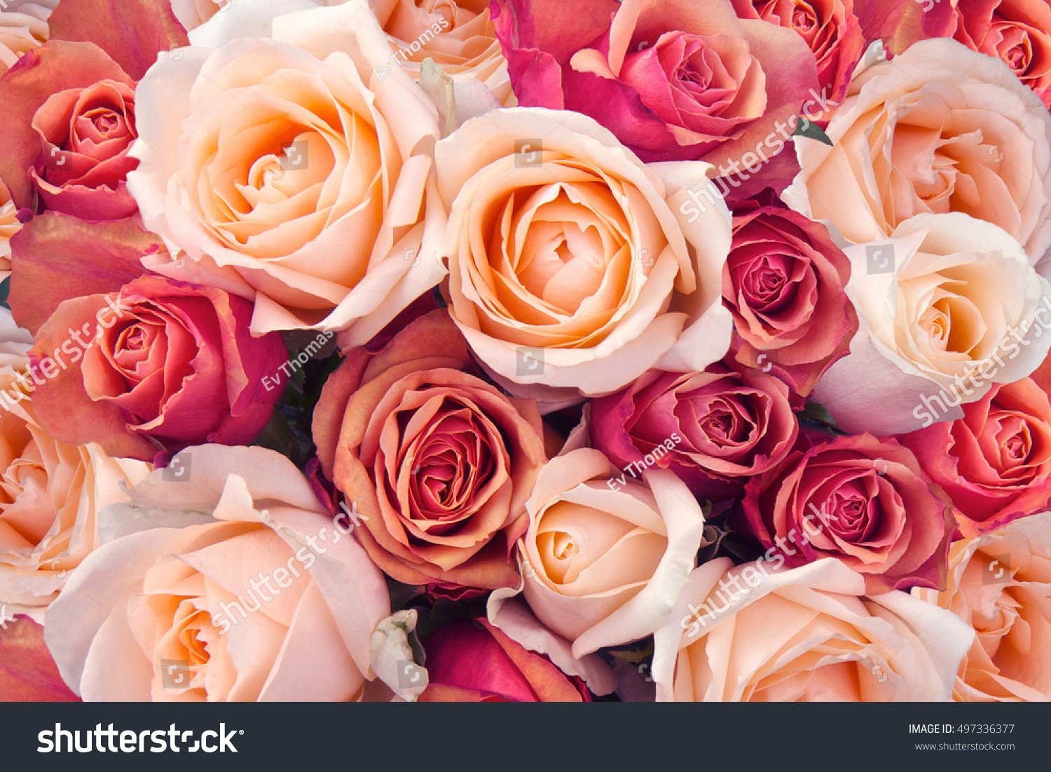 Background pink orange peach roses stock photo royalty free background of pink orange and peach roses mightylinksfo