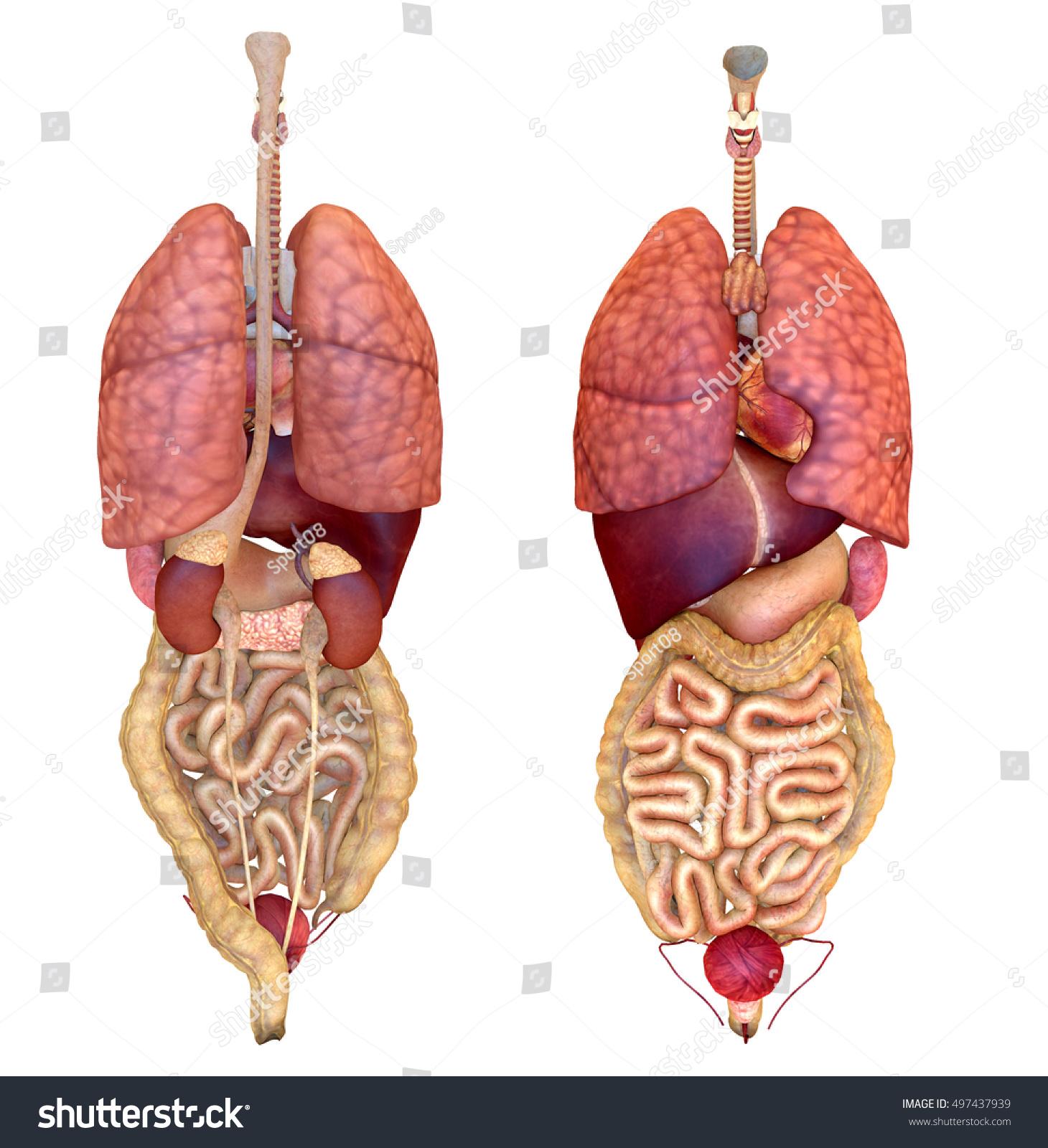 Internal Organ Diagram Back View.3d Rendering Internal Human Organ Front Stock Illustration