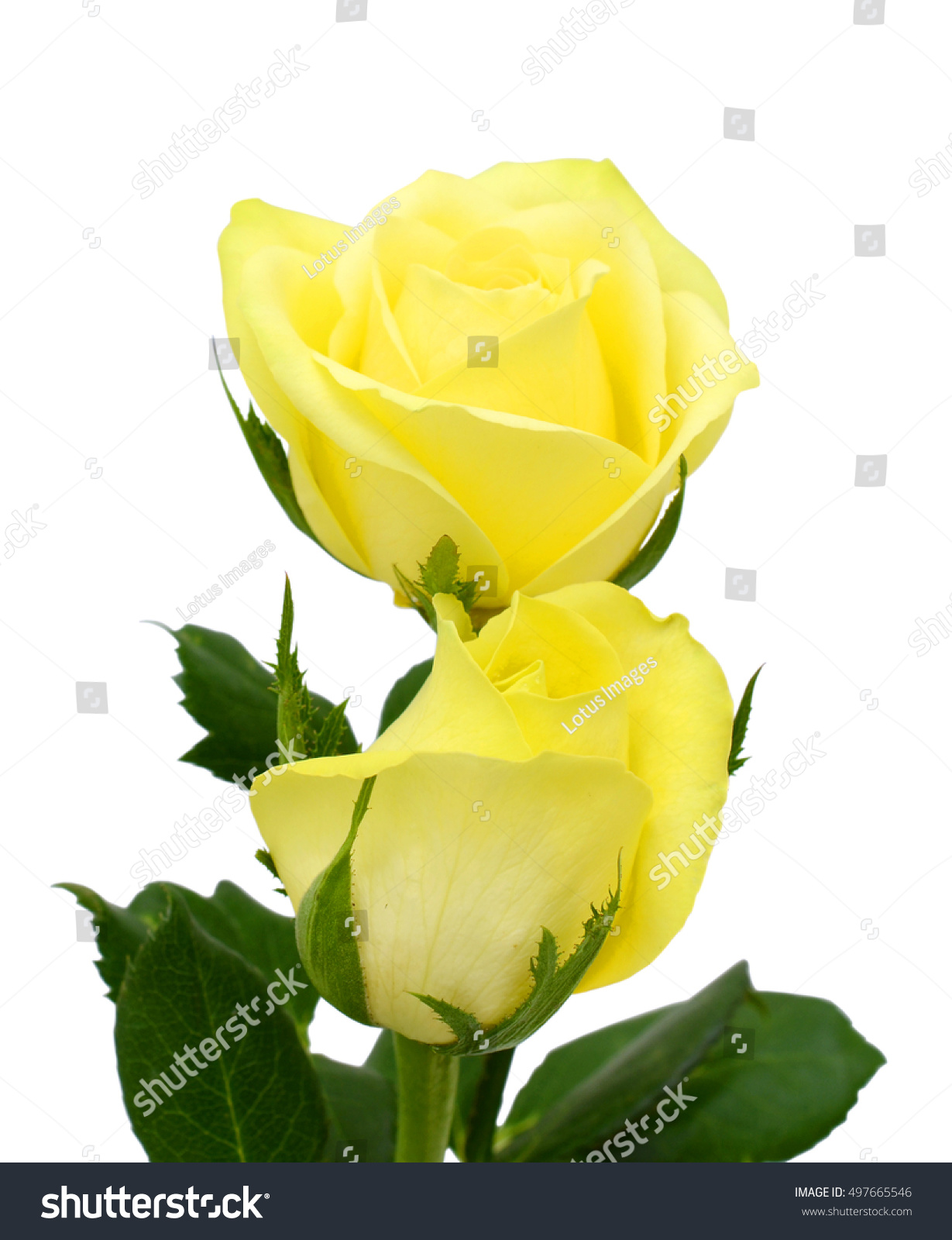 Beautiful Yellow Rose Flowers Isolated On Stock Photo Royalty Free