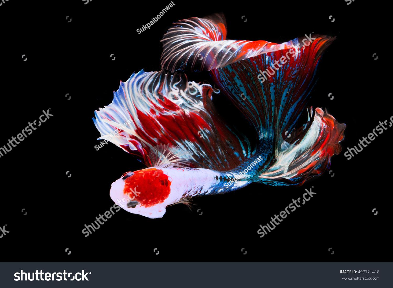 Multi color Siamese fighting fish(Rosetail-Halfmoon),fighting fish ...
