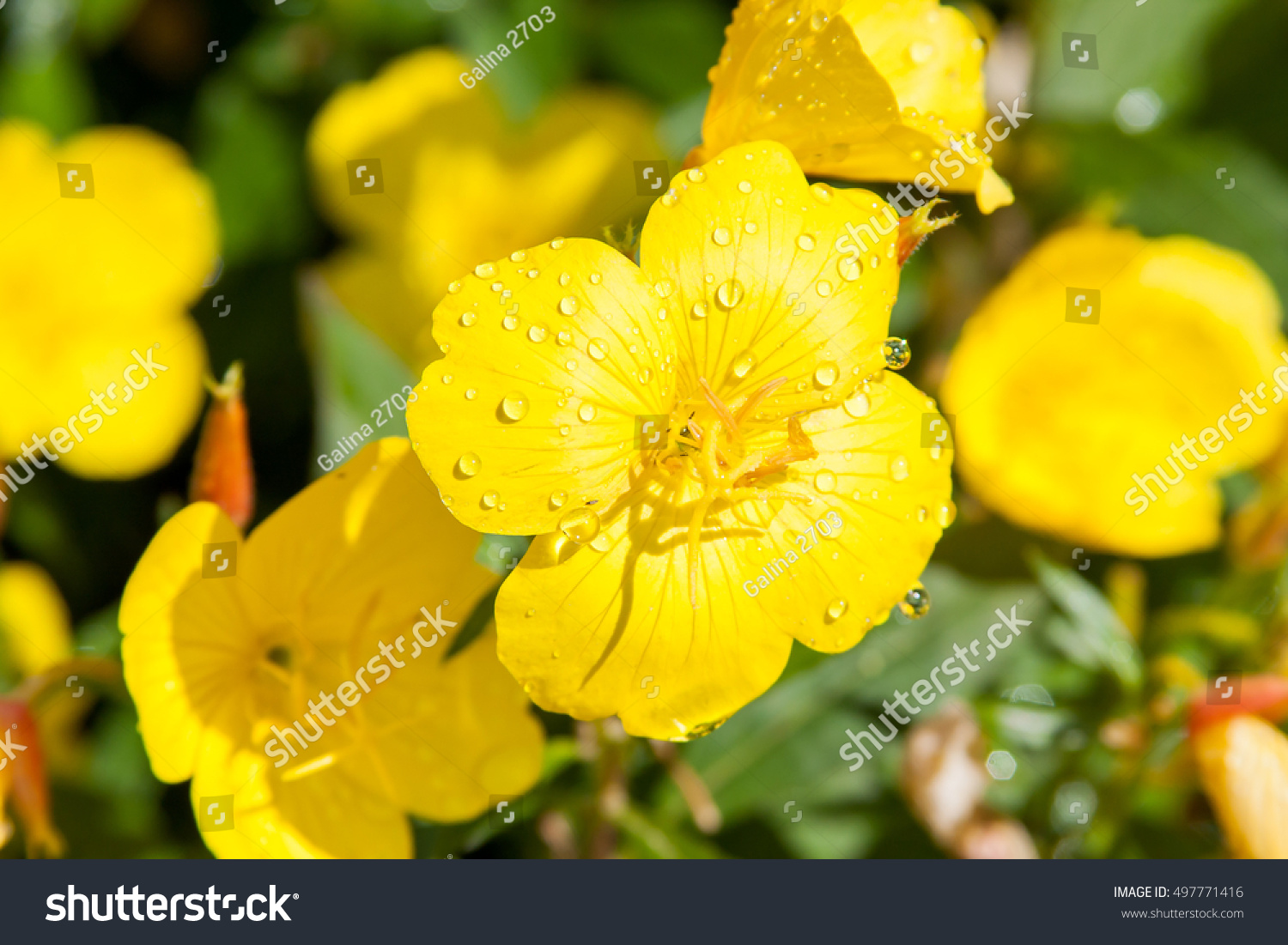 Beautiful Yellow Flowers Garden Enotera Stock Photo Edit Now