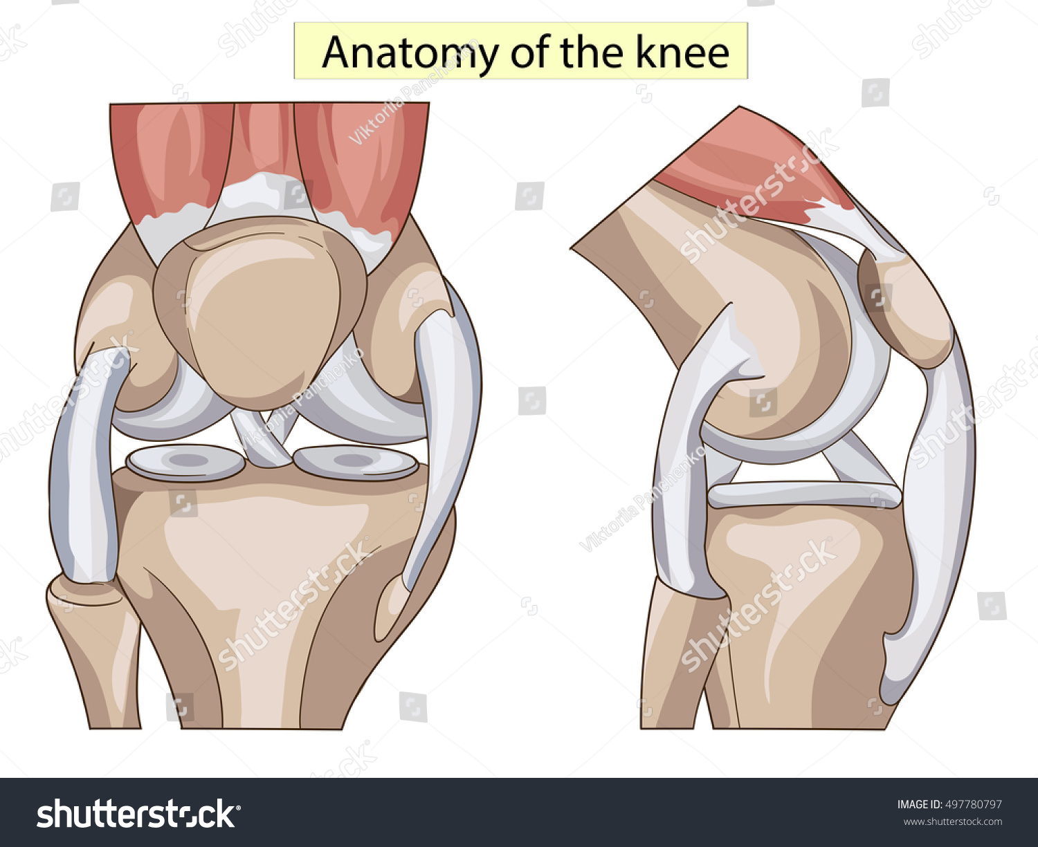 Anatomy Knee Joint Cross Section Showing Stock Illustration ...