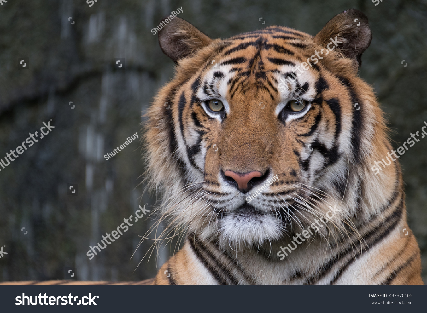 Bengal tiger head - Show me a picture of the tiger ...