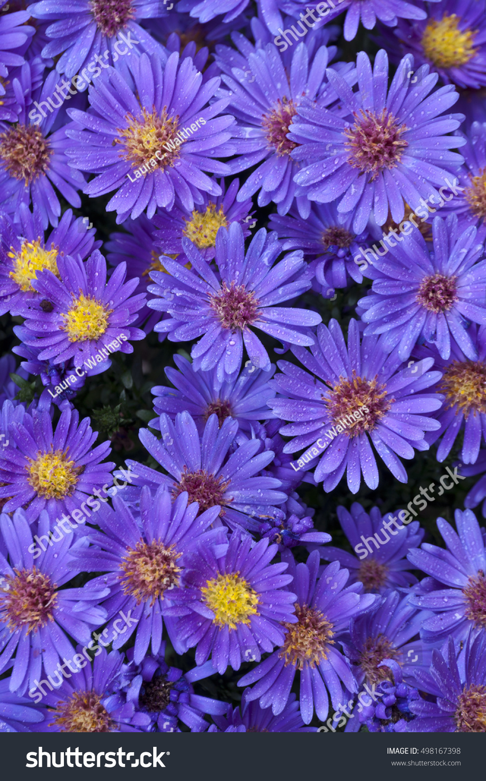 Background Deep Purple Blue Aster Flowers Background Stock Photo