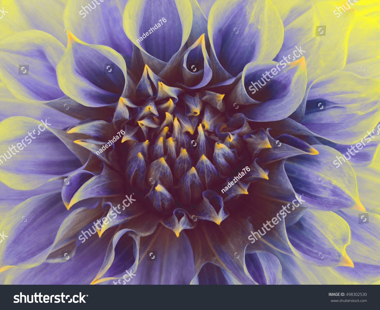 Dark Blue Dahlia Flower Closeup Macro Stock Photo Edit Now