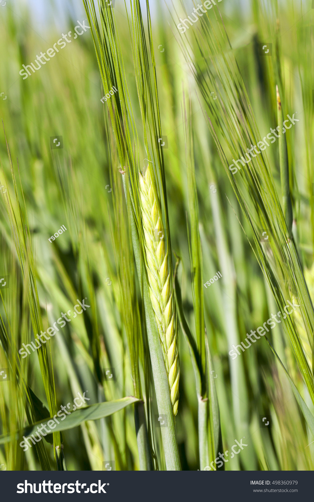 Agricultural field on which grow immature cereals, wheat. #498360979