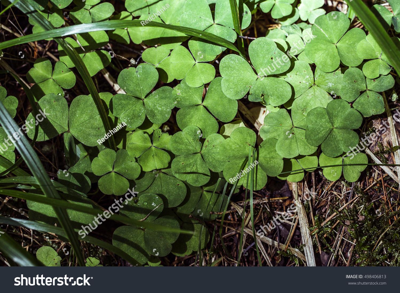 Green Clovers Little Yellow Flower Micro Stock Photo 498406813