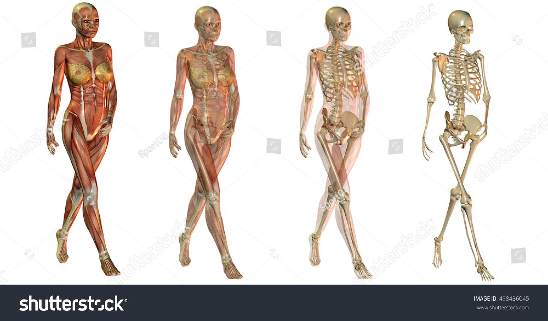 3 D Rendering Four Anatomical Figure Skeleton Stock Illustration