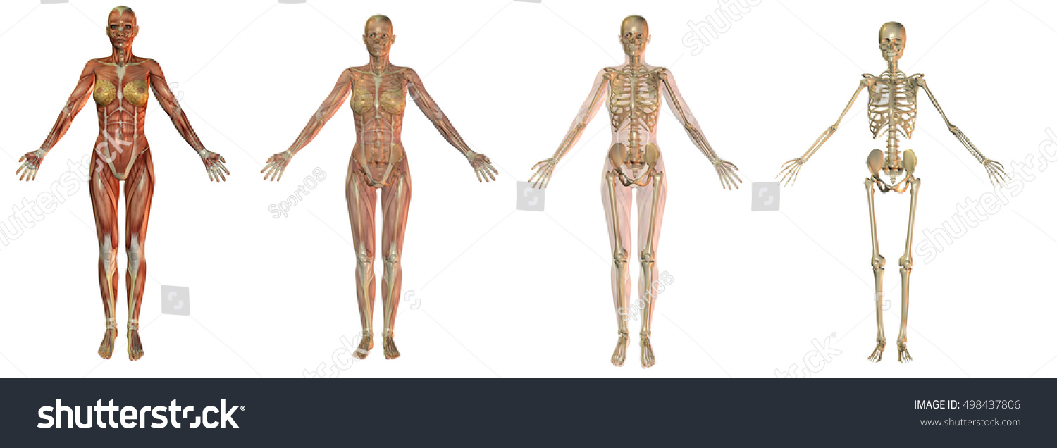 3 D Rendering Anatomical Woman Figure Different Stock Illustration ...