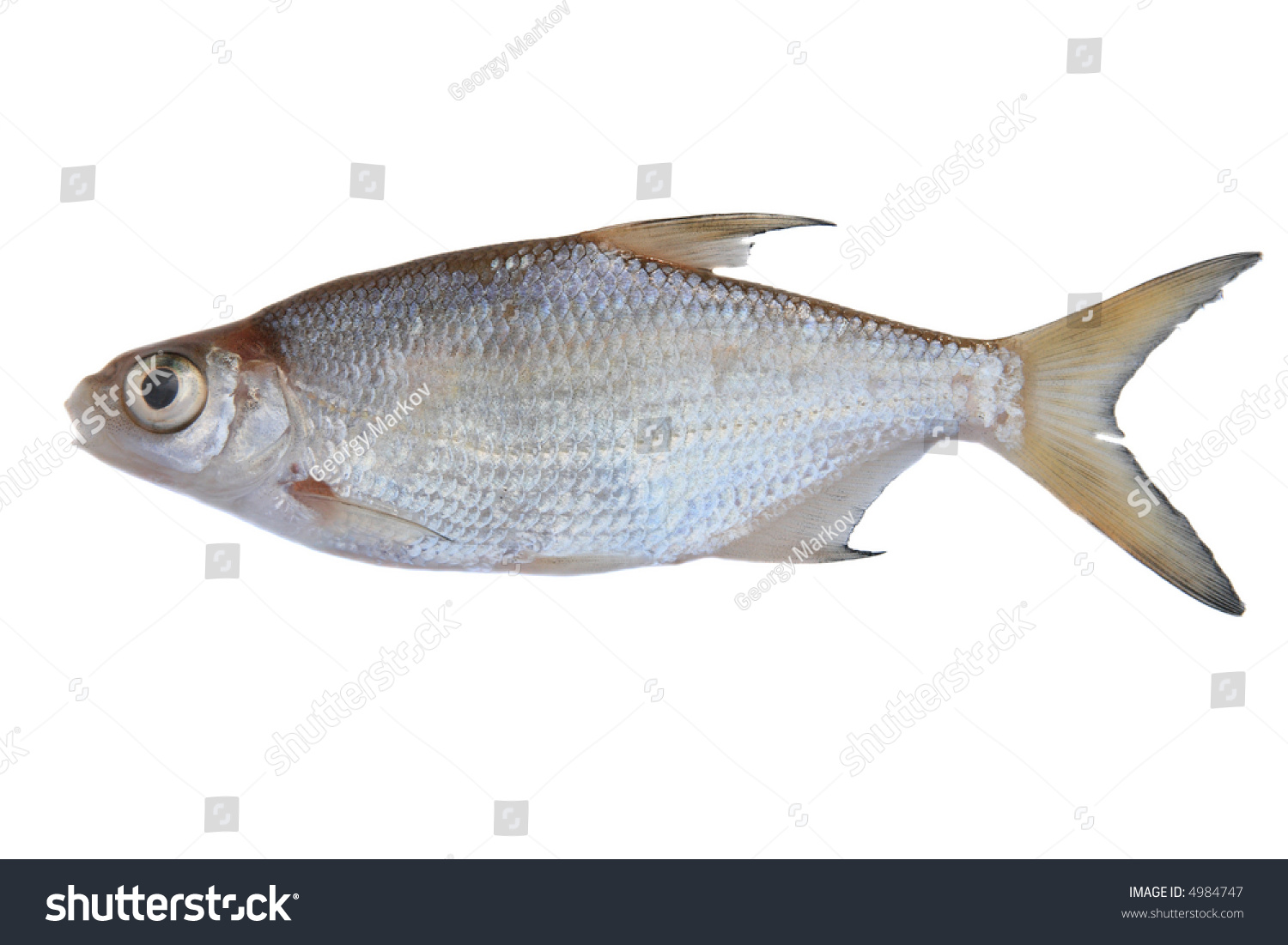 Small Freshwater Fish Isolated On White Stock Photo