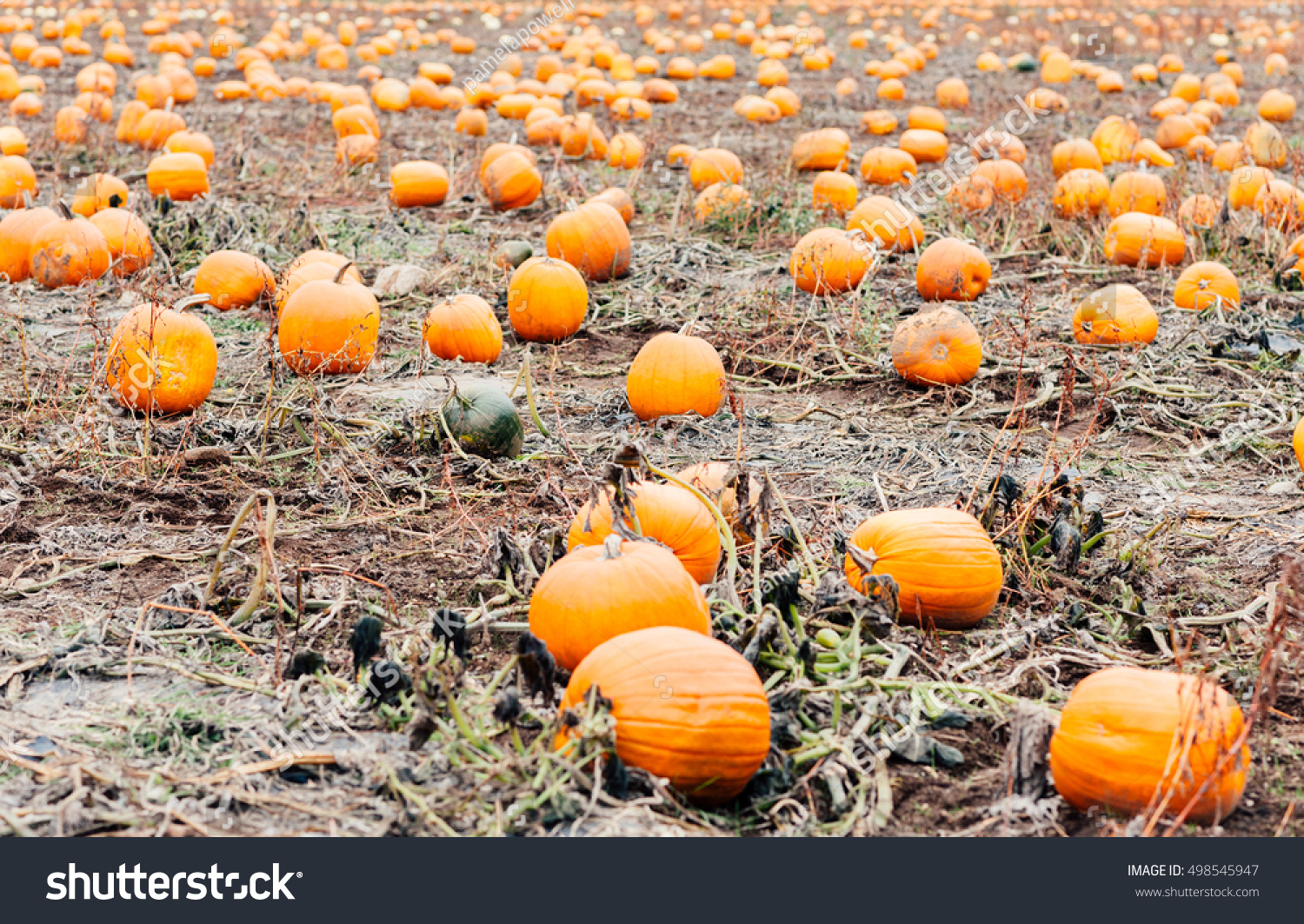Pumpkins in a pumpkin patch ready for Halloween and Fall harvest | EZ Canvas