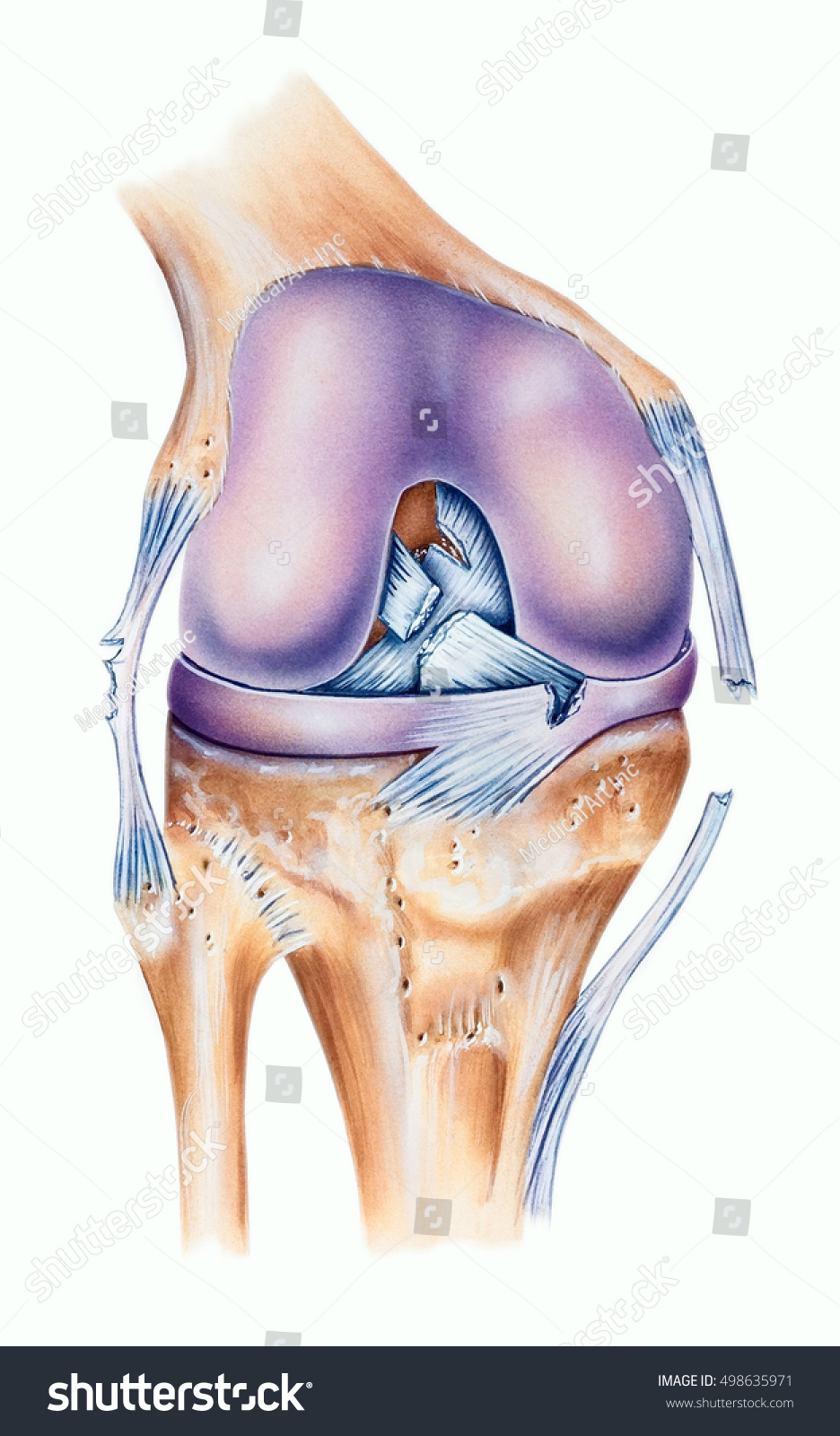 Knee Ligament Tears Posterior Cruciate Ligament Stock Illustration