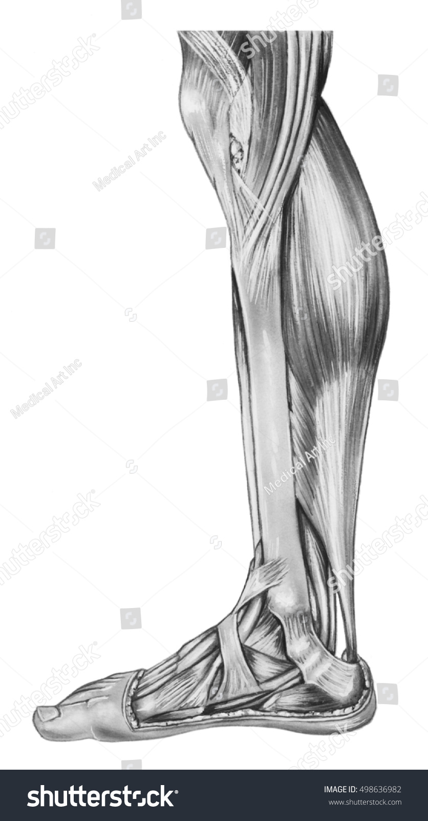 Leg Lower Anatomy Muscles Tendons Human Stock Illustration Royalty