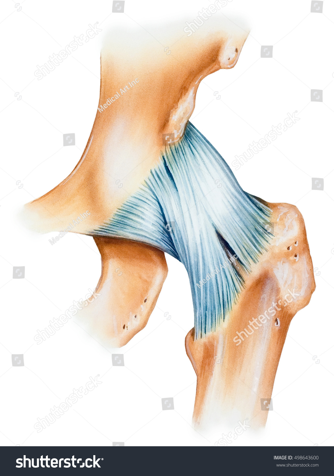 Royalty Free Stock Illustration Of Hip Joint Capsule Ligaments
