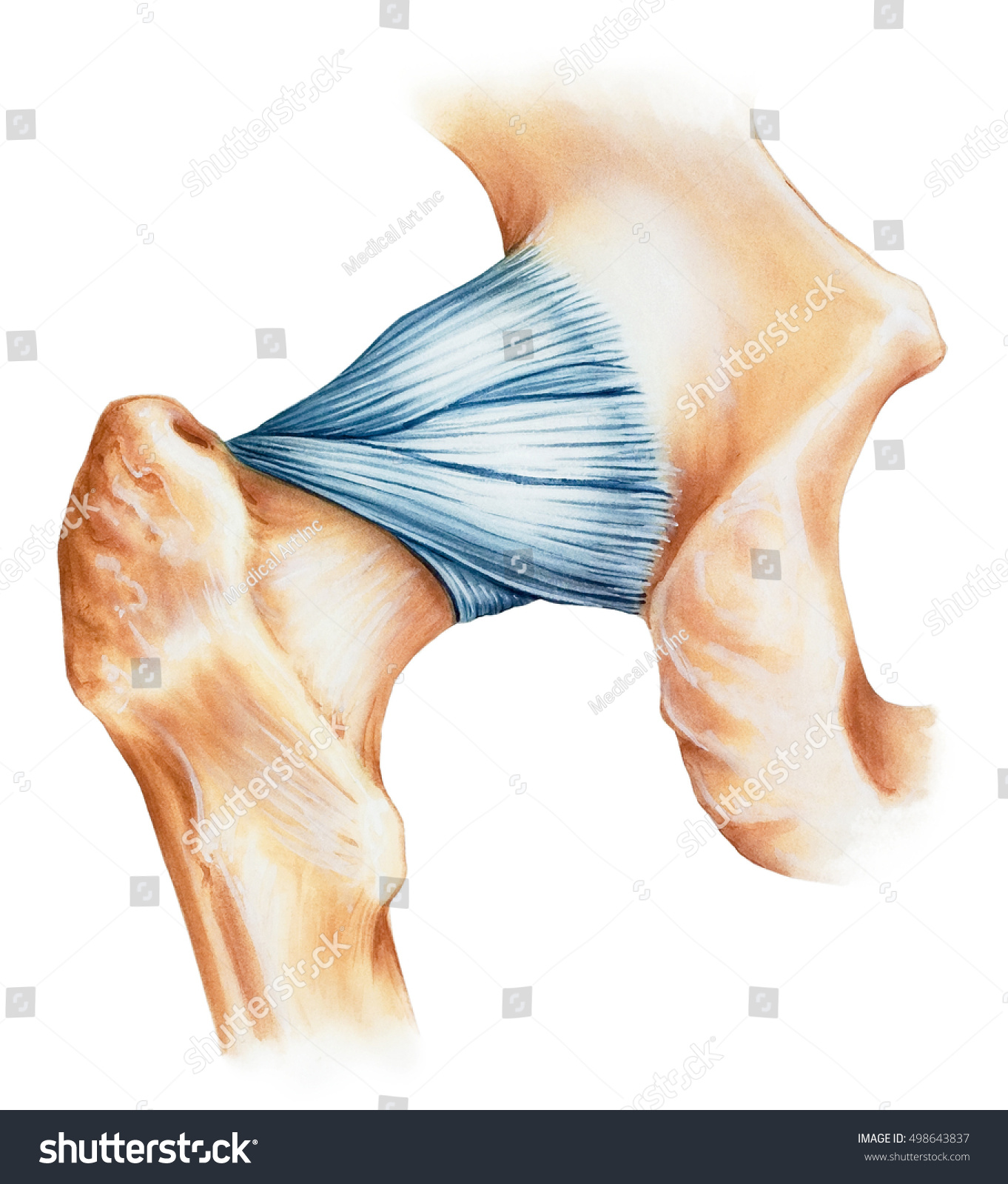 Hip Joint Capsule Ligaments Dorsal View Stockillustration 498643837