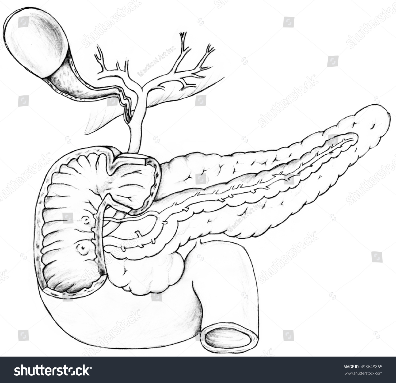 Gall Bladder Pancreas Duodenum Gallbladder Holds Stock Illustration