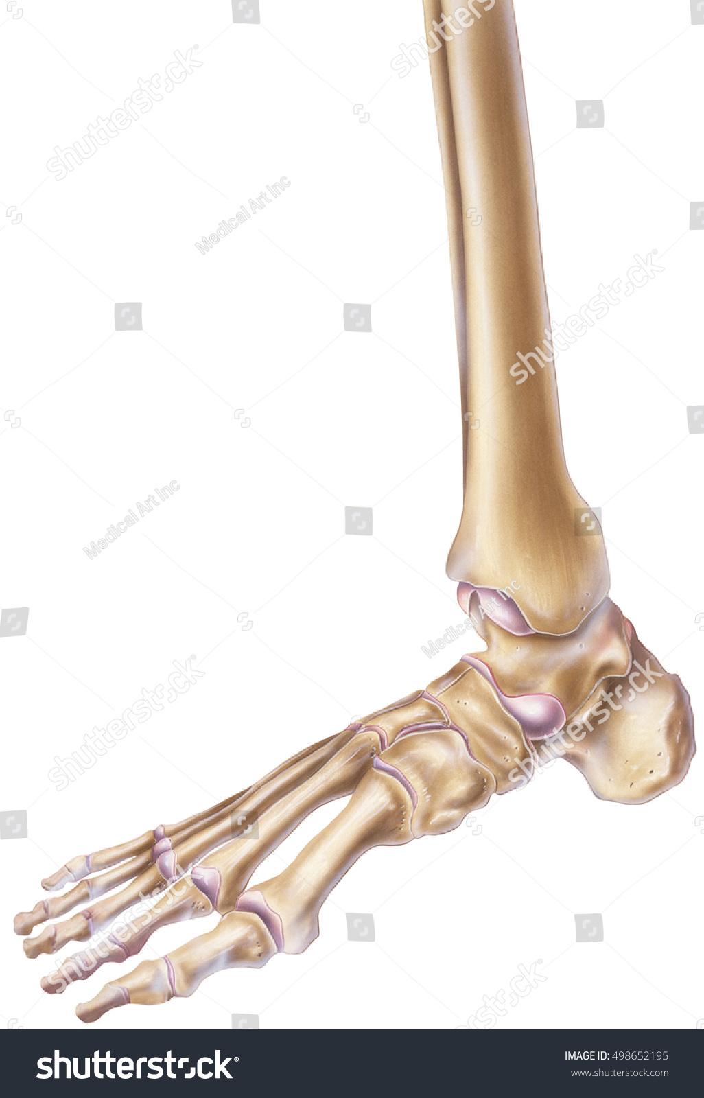 Foot Ankle Bones Joints Stock Illustration 498652195 Shutterstock