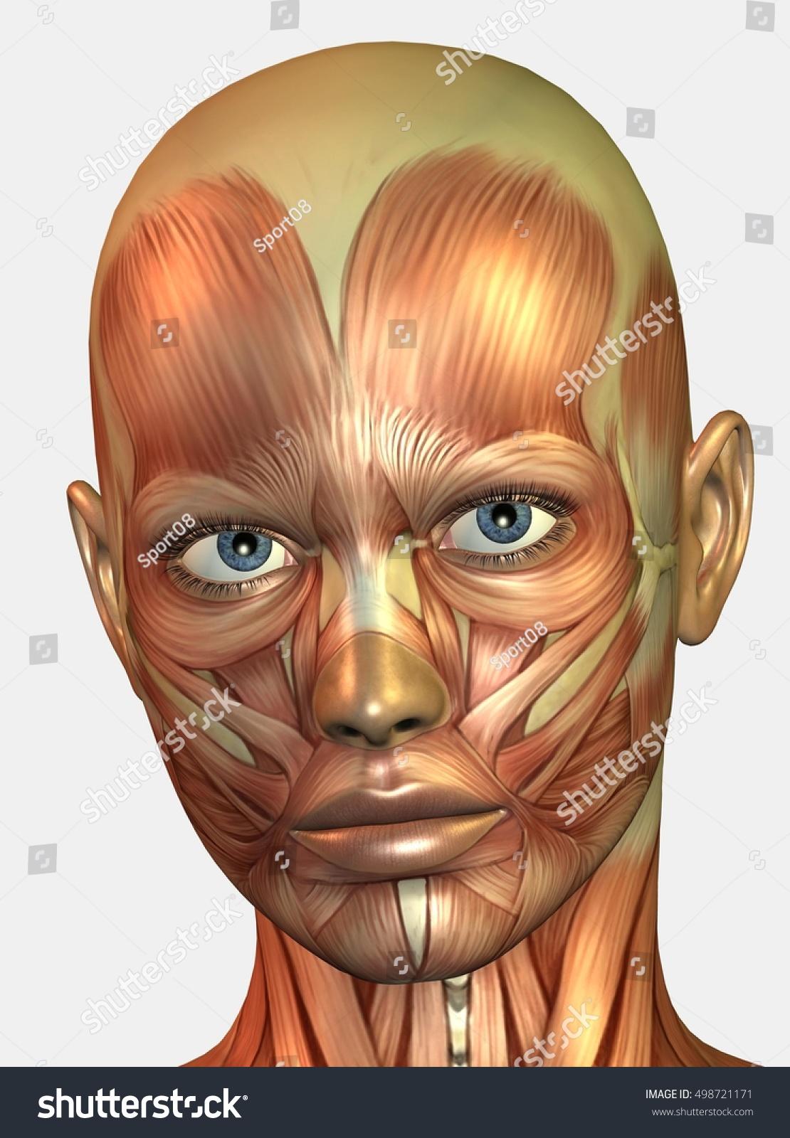 Tolle Gesichtsmuskeln Diagramm Fotos - Menschliche Anatomie Bilder ...