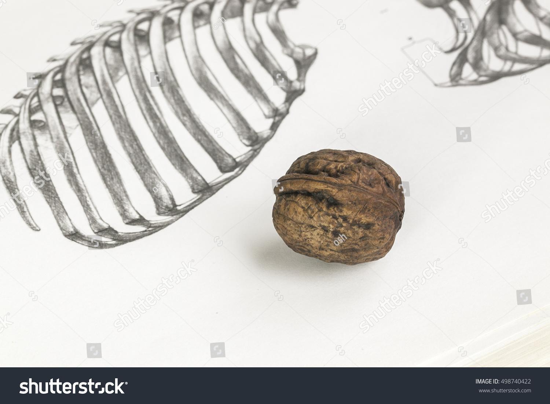 Walnut greek nut pencil drawing drawing tutorial skeleton human skeleton