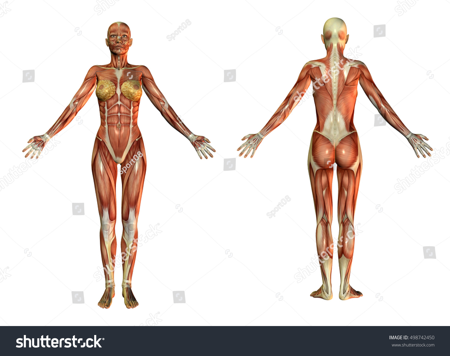 3 D Rendering Anatomical Muscles Skin Woman Stock Illustration ...