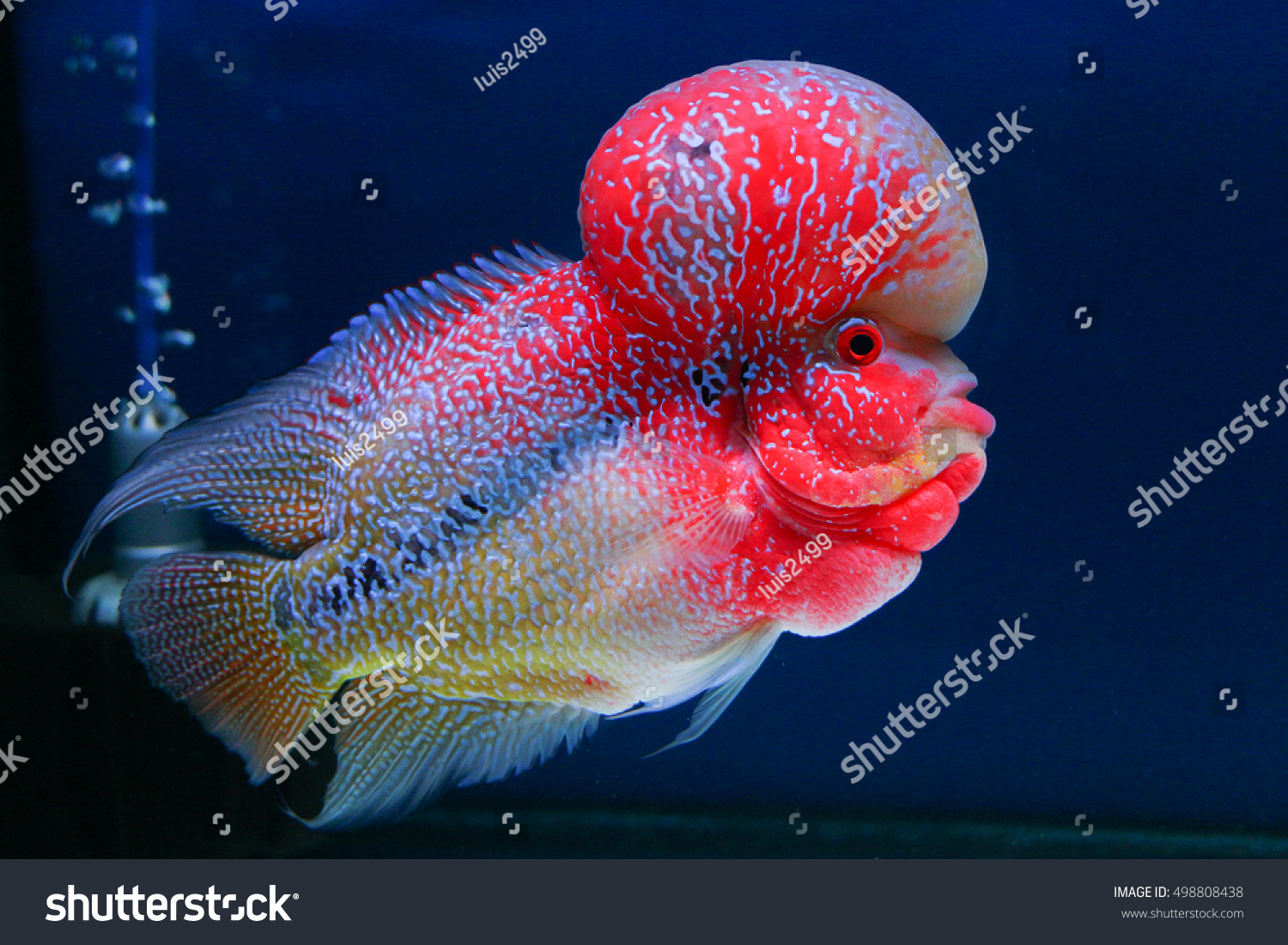 Beautiful Red Flowerhorn Crossbreed Cichlid Pet Stock Photo (Royalty ...
