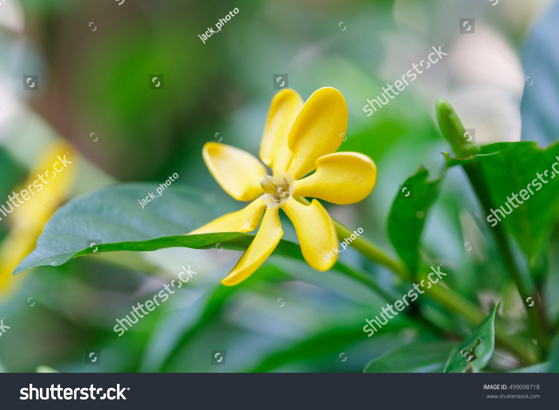 Golden Gardenia Gardenia Carinata Wall An Outstanding Yellow