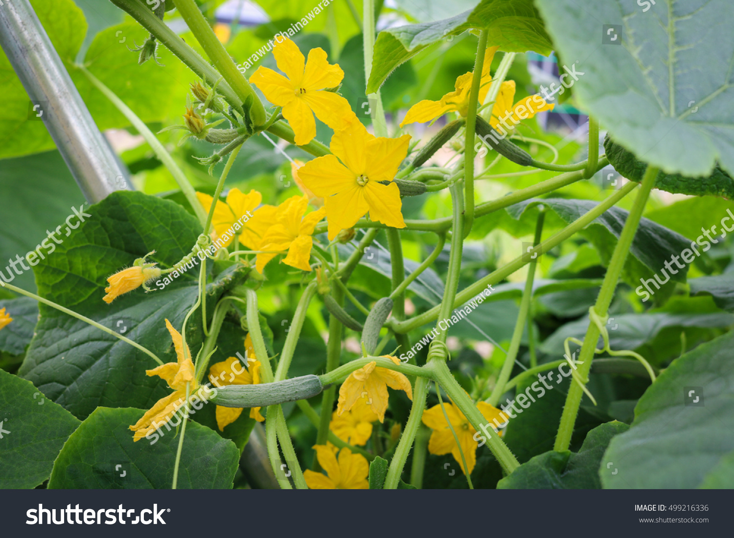Yellow Female Flower Cucumber Field Plant Stock Photo Royalty Free