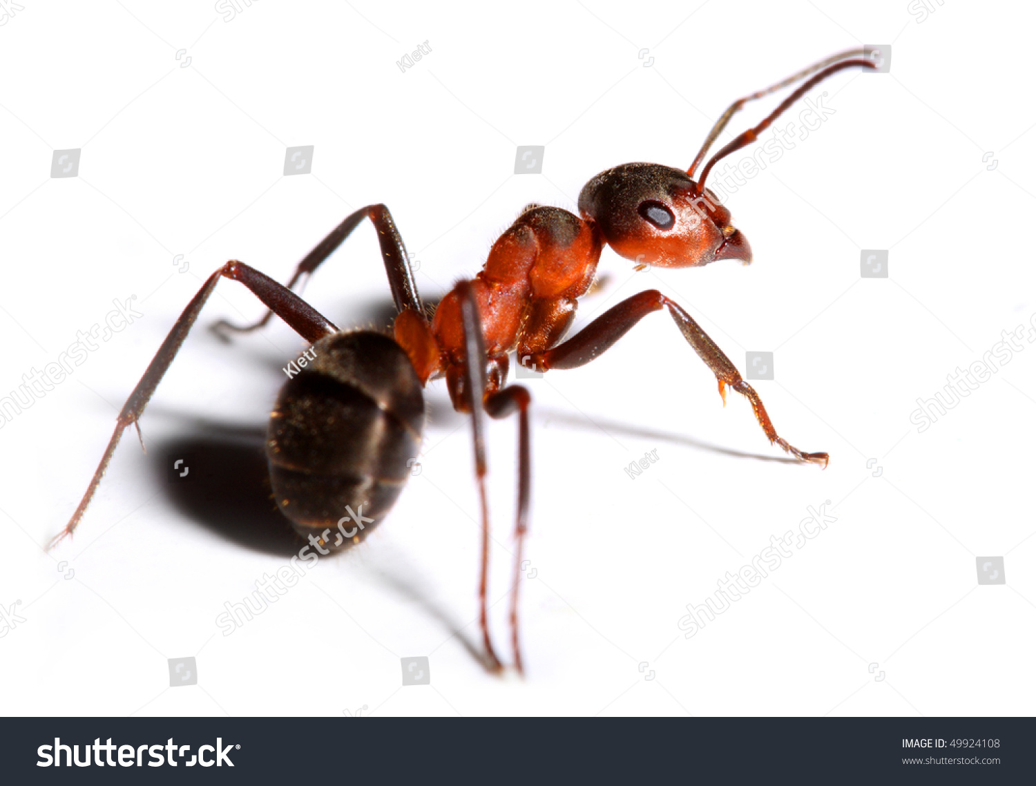Big Red Ant Isolated On White Stock Photo 49924108 - Shutterstock