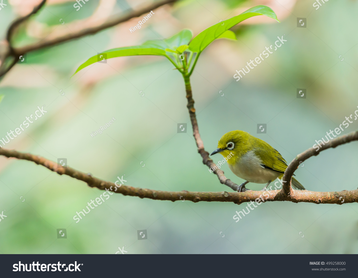 Tiny little silvereye waxeye zosterops lateralis stock - Olive garden early bird specials ...