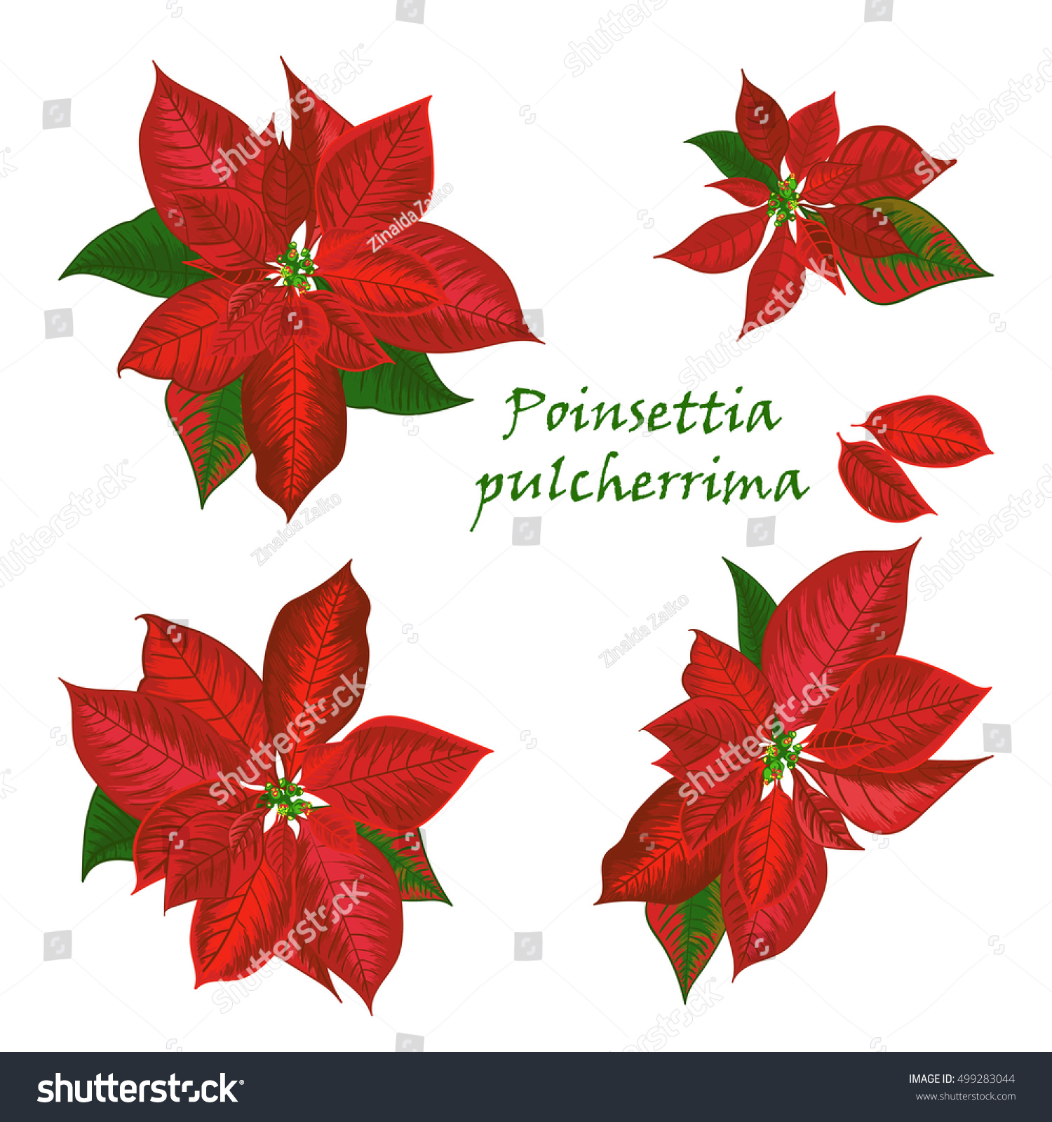 Set Poinsettia Flowers Red Color Christmas Stock Vector 499283044 ...