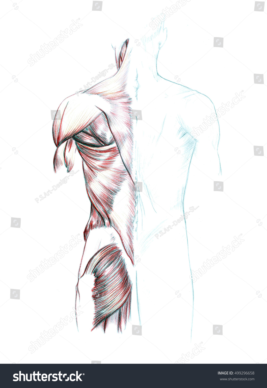 Muscles Back Shoulders Buttocks Hand Drawn Stock Illustration ...