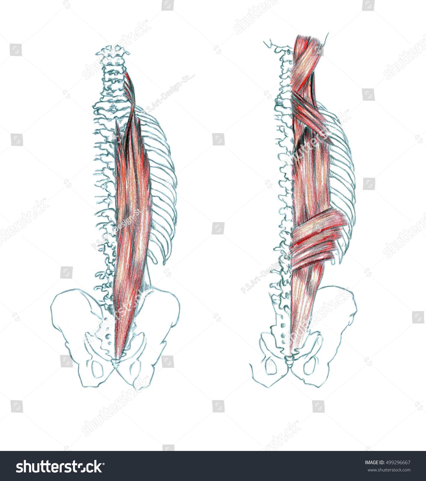 Muscles Back Hand Drawn Medical Illustration Stock Illustration ...