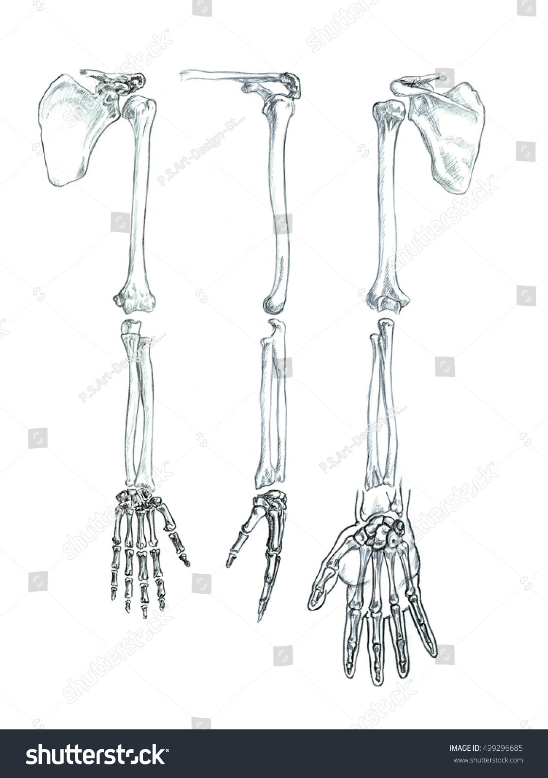 Bones Upper Extremity Hand Drawn Medical Stock Illustration