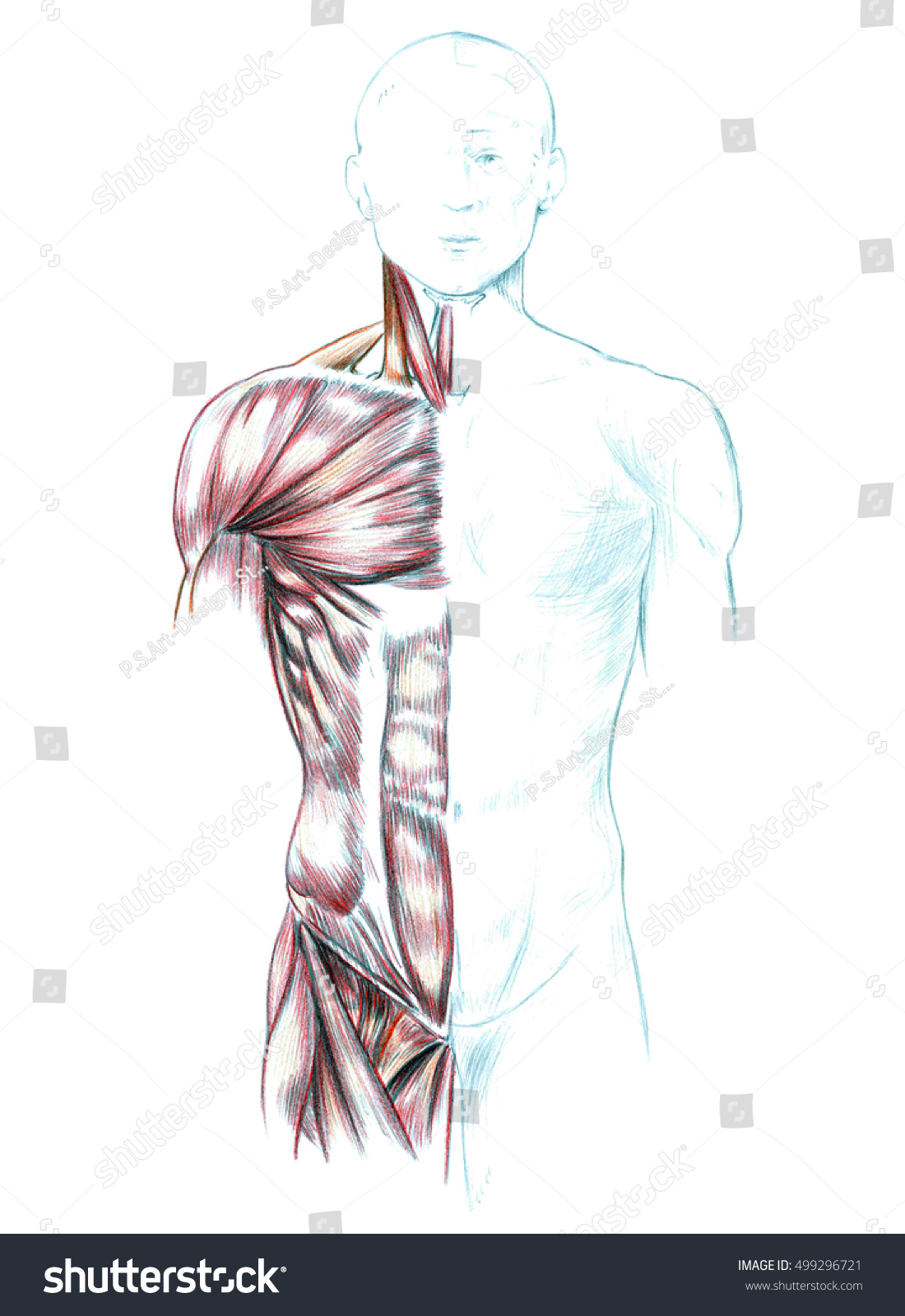 Muscles Neck Shoulders Chest Abdomen Hand Stock Illustration