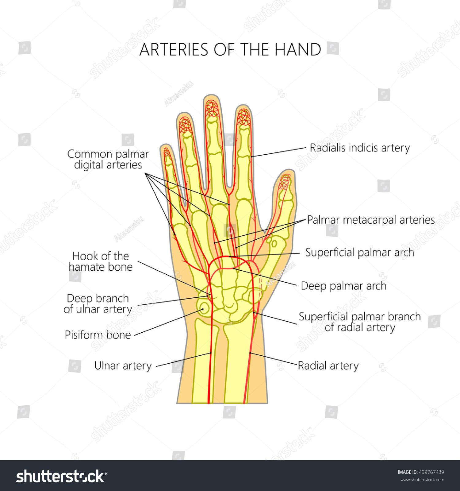 Diagram Arteries Palmar Side Human Hand Stock Vektorgrafik