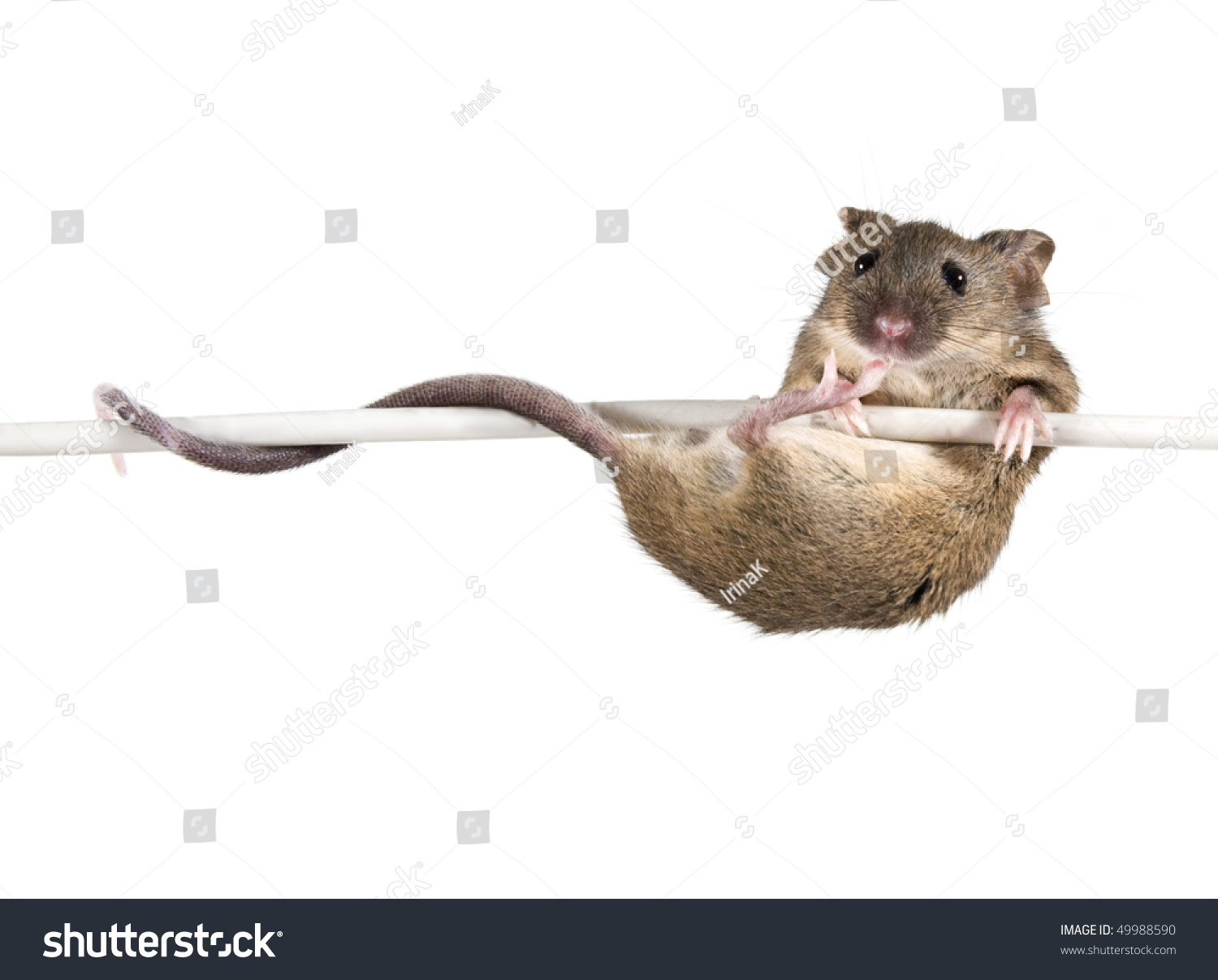 Common house mouse mus musculus on stock photo 49988590 for Mouse house music