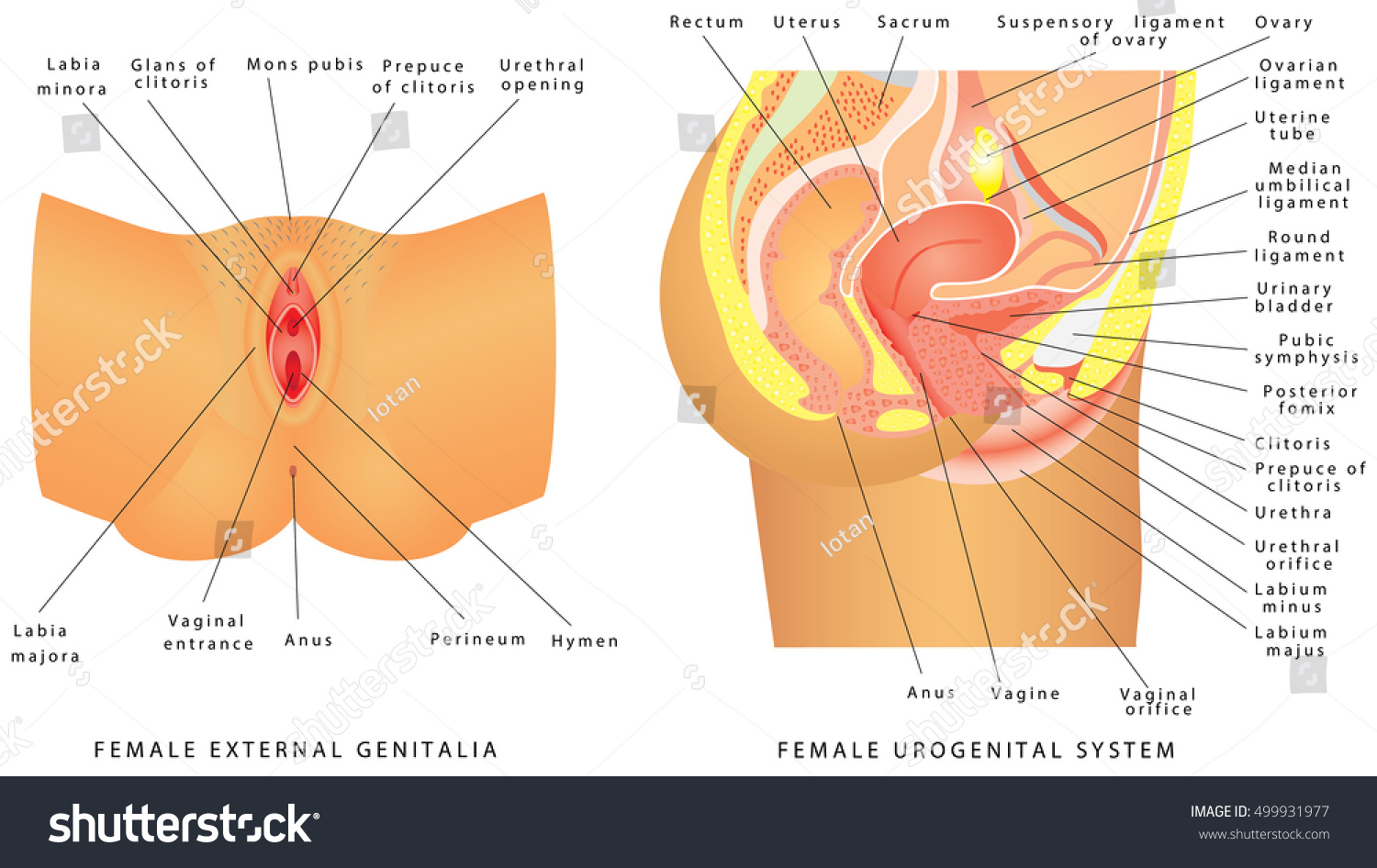Female Urogenital System Anatomy Female Reproductive Stock Vector ...