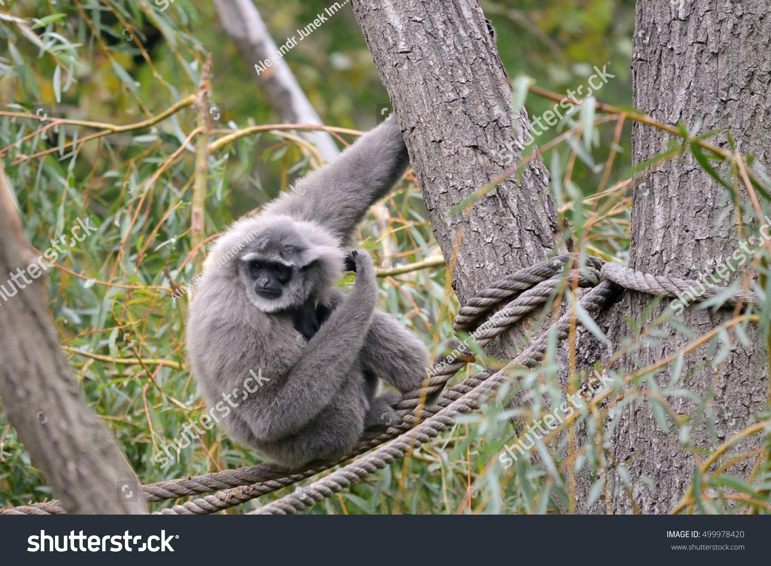 The silvery gibbon hylobates moloch on the tree
