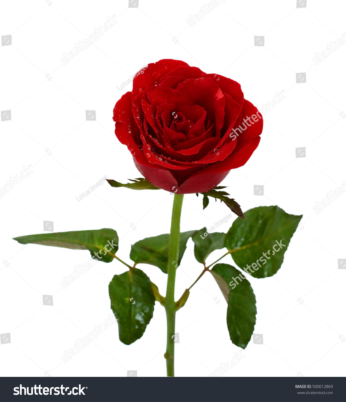 Beautiful Red Rose Flower Isolated On Stock Photo Edit Now