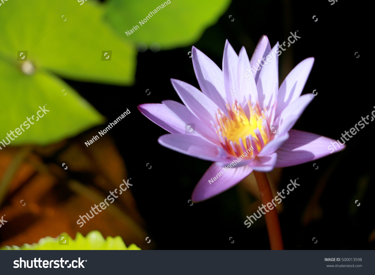 This Beautiful Waterlily Or Purple Lotus Flower Is Complimented By