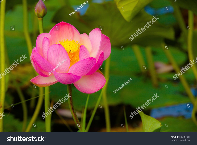 Komarov Lotus Grows Primorsky Region Russia Stock Photo Safe To Use