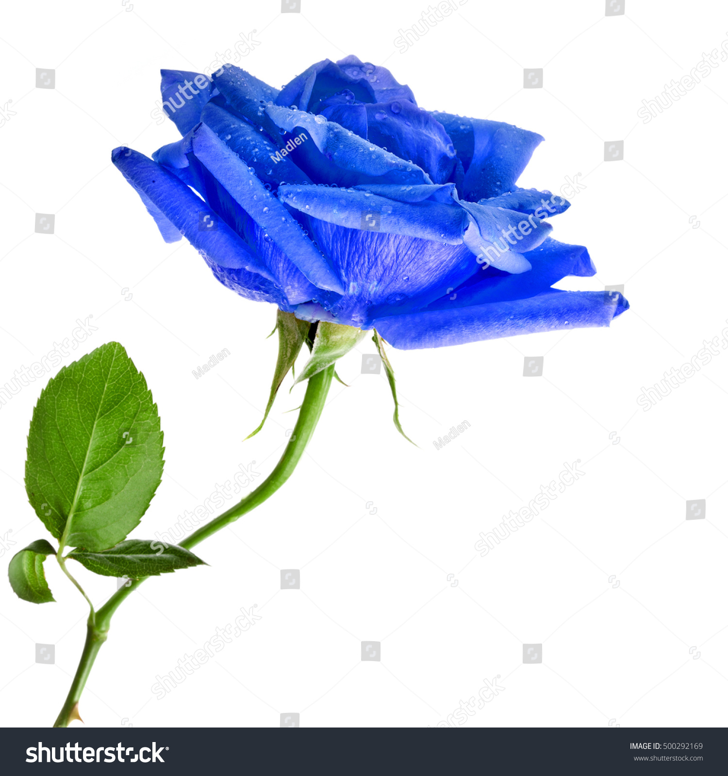 Beautiful Blue Rose Flower Water Drops Stock Photo Royalty Free