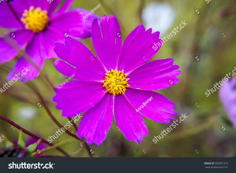 Violet Flower Yellow Center Ez Canvas