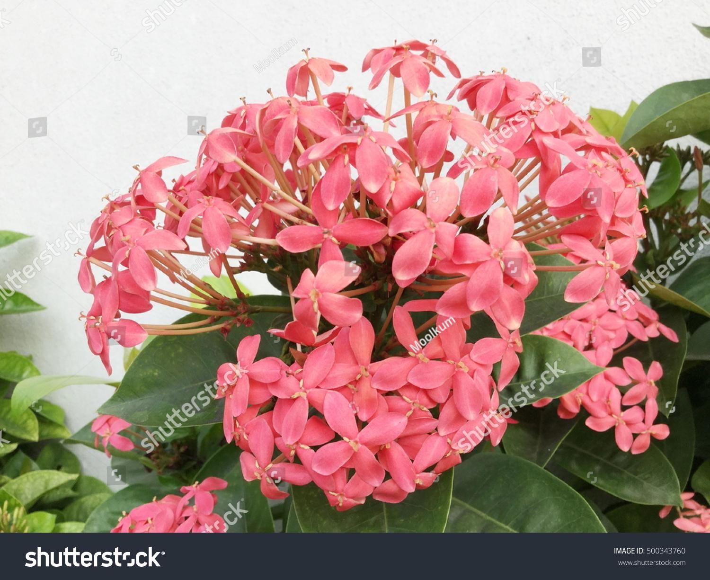 Royalty Free Pink Flower Spike Rubiaceae Flower 500343760 Stock