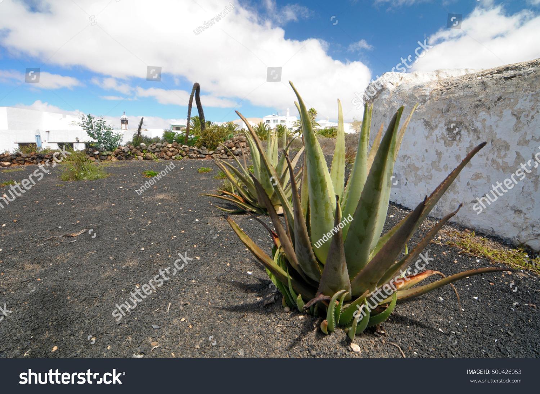 aloe vera plants on rock field stock photo 500426053 shutterstock. Black Bedroom Furniture Sets. Home Design Ideas